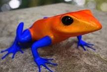 békák - frogs