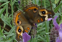 Butterflies, Dragonflies and other visitors to the garden / Some of the most beautiful guests to the garden are the butterflies, moths and dragonflies.   Other creatures are equally interesting to observe.