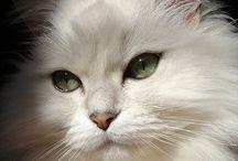 Cat / Katt / Chat