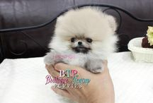 Teacup Pomeranians Available / Here you will find our gorgeous Available Teacup Pomeranian Puppies we have available.