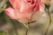 Flori, imagini