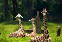 Giraffes / by Barbara Rogers