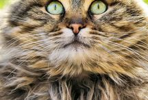 Beautiful Cats / Photography and artwork featuring beautiful cats.