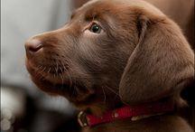 Labrador love <3