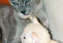 Koty tonkijskie / Od 2010 r. prowadzę hodowlę kotów tonkijskich Agatonka*PL Tonki to fascynujące koty, niesamowicie kontaktowe, przywiązane do właściciela, niezwykle charakterne i żywe.....Musicie je bardziej poznać....a ja Wam w tym pomogę....
