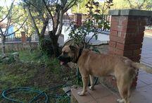 Yako, dog, / Yako: cruce pastor alemán con mastín y bulldog francés con pit bull