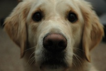 """Animalssss (This should have been called """"Goldens"""" from the start)"""