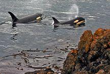 Kardszárnyú delfinek