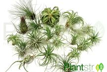 Plantstr / You're not a botanist. We know. That's why, here at Plantstr, we make buying air plants online simple. You just pick the ones you want with the containers you like, and we'll deliver them right to your door, anywhere in the country. We have a nice variety of unique plants to choose from, and many cool container & terrarium options to match any decor.   http://www.plantstr.net