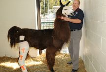 Life on the Farm / by UT College of Veterinary Medicine