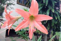 Flowers of Koh Samui