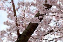 Floare de sakura