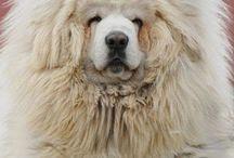 tiibetinmastiffit