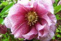 Flower WL Helleborus / by Sandy Hilliard