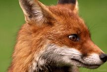 Foxes / by Olga Beloysova