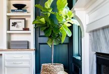Fig tree indoor