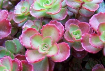 Succulents - Sedums