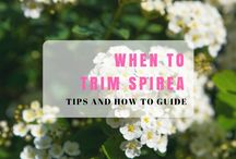 How to care Spirea