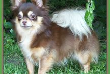 CoCo's Chihuahuas / Our Chihuahuas in our breeding program. / by Suzzette Drake