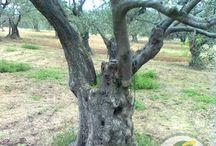 Zeytin ağaçının genel özelikleri nelerdir? / Zeytin ağacı birçok ağacın yetişmediği meyilli ve yamaç arazilerde yetişmektedir. Ancak son zamanlarda zeytin ağaçlarının verim çağında olmasına rağmen ağaç başına düşen verimin düştüğü görülmektedir. Bunun da en büyük nedenleri zamanında uygun ilacı kullanmamak budamayı erken yapmak, sulama, gübreleme toprak işleme hastalık ve zararlılarla mücadele tekniğine göre yapılmamasından kaynaklanmaktadır.