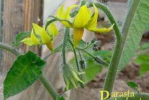 Tomaatintaimia, Tomato plants / Luomukasvatettuja tomaatintaimia eri vaiheissa, tomaatinkukkia