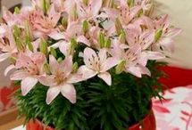All About Indoor / What about the Lily as indoorplant?