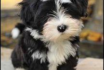 Pets and friends / Havanese and dogs