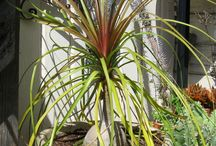 Indoor/Outdoor Plants - Pony Tail Palm / Pony Tail Palm is not actually a palm but in the  Agave family. Beaucarnea recurvata is named for its downward curving leaves and slow growth. If grown in a pot, it will stay small. Easy to care for, they do great indoors. / by April Kush