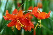 vaste planten 1 / vaste planten = beschrijving