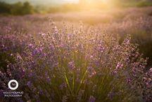 Λεβάντα: Ο μωβ ...παράδεισος! / Λεβάντα: Ο μωβ παράδεισος ως αιθέριο έλαιο,αποξηραμένη,ανθόνερο. Δείτε στο http://www.lavendergreece.gr