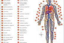 Sistema Cardiovascular - venas / Las venas dirigen la sangre desde los lechos capilares al corazón. Las venas pulmonares mayores son atípicas porque transportan sangre oxigenada desde los pulmones hacia el corazón. Las paredes de las venas son más delgadas que las de sus arterias homólogas, debido a la menor presión del sistema venoso. Existen 3 tipos de venas: pequeñas, medianas y grandes.