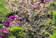 Китайская вишня Сакура (Prunus incisa, kojou-no-mai)