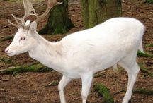 Альбиносы  животные