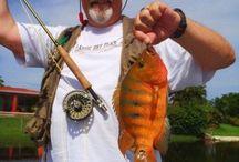 MAYAN CICHLID / Fly fishing for Mayan cichlid.  Mayan cichlid on the fly.