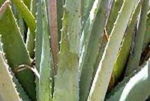 plantas medicinais que curam