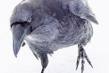 raven 12