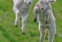 Joyful Lambs