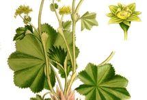 Heilkräuter & Pflanzen