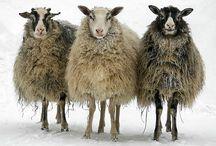 sheepsheepsheep