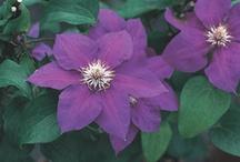 flower purple / by Sindee Garlock