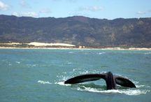 Nossos Visitantes as Baleias Francas / No período de julho a Novembro a baleia Franca visita a Praia do Rosa já que elegeu este balneário como seu berçário natural, aqui elas vem p/ namorar e acasalar ou dando a luz a seus filhotes e alimentando  eles  nos seus primeiros meses de vida para daí partir para viagens mais longas. A observação de baleias é um  espetáculo especial, inclusive a olho nu. Estamos no centro da Área de Proteção Ambiental da Baleia Franca (APA)