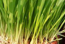 Zelené potraviny - zelený jačmeň