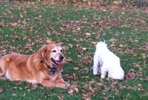 Abby / This board I created to share some beautiful photos of our beautiful Golden Girl Abbeygail. RIP 01-05-2004 11-15-2012