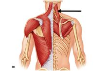 anatomie de l'omoplate