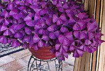 Oxalis purple