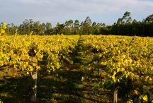 Viñedos / Nuestros viñedos tienen una superficie de 5 hectáreas y la edad media de las cepas de albariño es de 33 años.