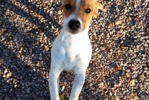 Lovely russel terrier / How beautiful