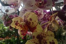 Indonesia Orchid's