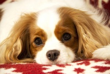 Cavalier King Charles Spaniel Photography / These are my beautiful family dogs who I love to photograph. They make beautiful greeting cards, posters and just about thing I make with their face on it!  They have been my top sellers.