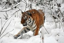 Tiger Sanctuaries in India / Sanctuariesindia: Here You can get all information about Tiger Sanctuaries in India @ sanctuariesindia.com